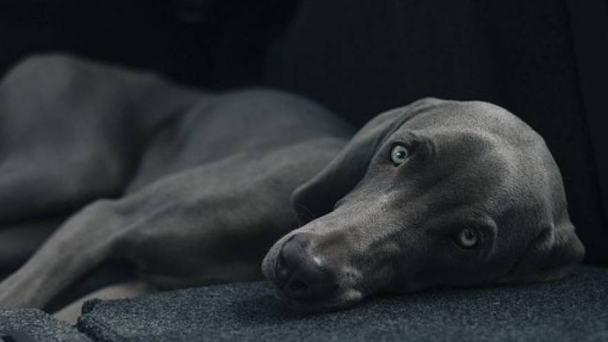 False Pregnancy in Dogs