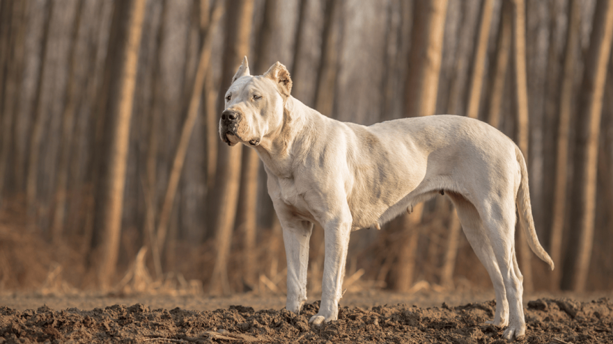 Dog Breeds Forbidden by the Breed Specific Legislation