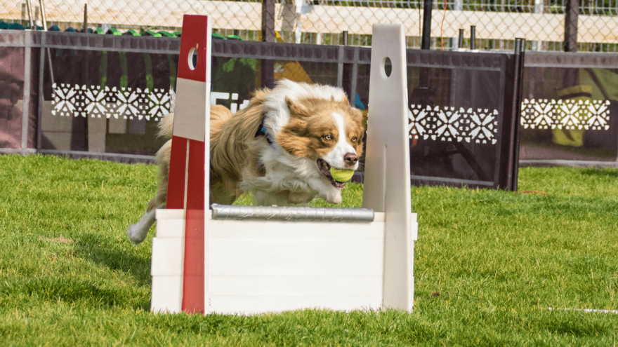 Flyball - What is it & How to Participate