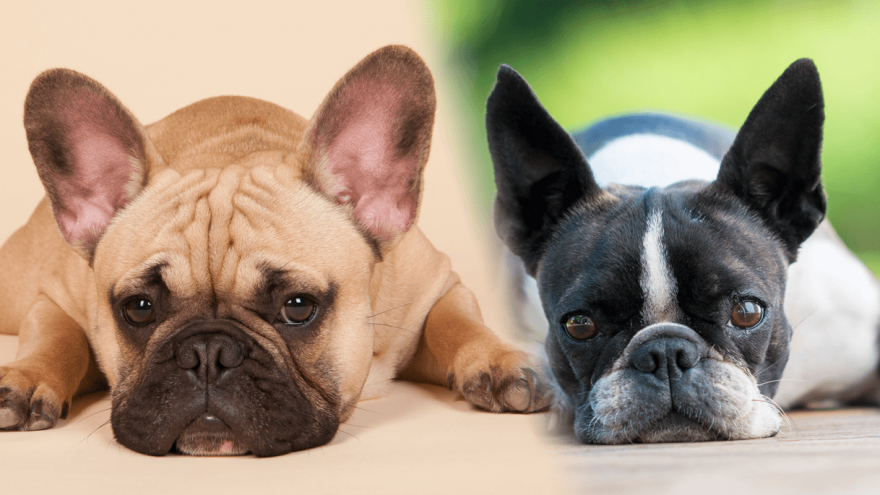 French Bulldog vs. Boston Terrier - Do You Know the Difference