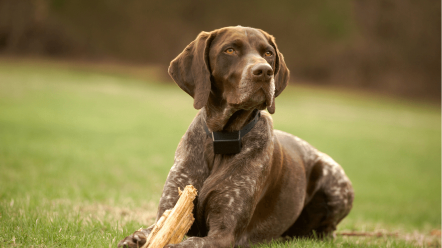 German Shorthaired Pointer- What You Don't Know