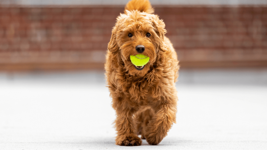 Types of Goldendoodles - Owners Guide