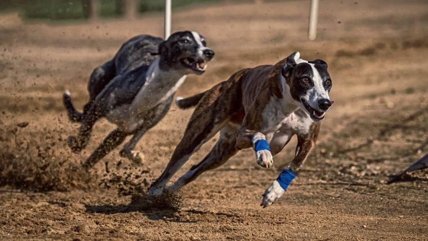 8 Fun Facts About the Fastest Dog - Greyhound