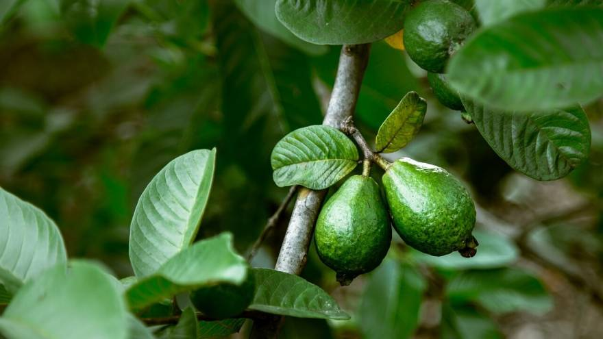 Vet Tips: Can Dogs Safely Eat Guava