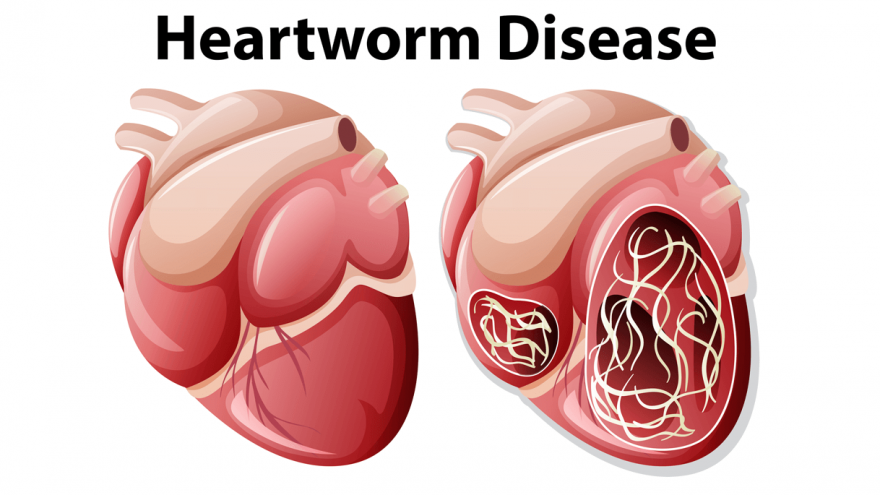 Heartworm In Dogs - All You Should Know
