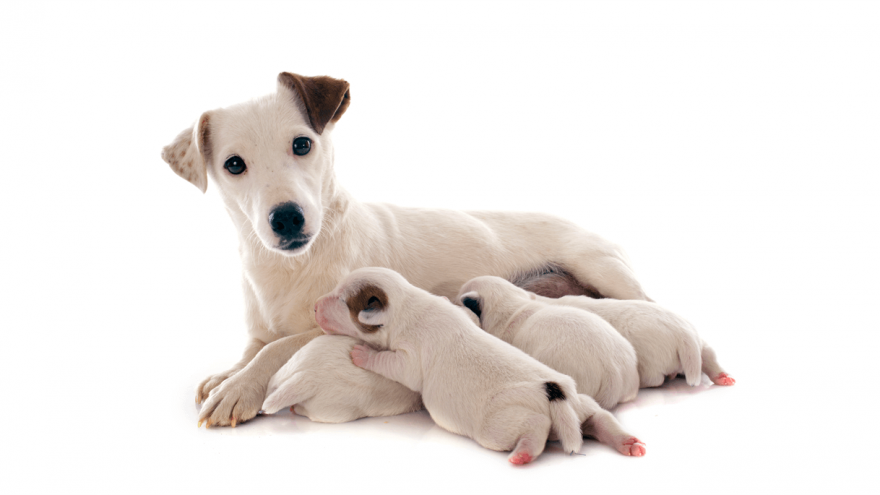 Dog Pregnancy: Signs, Diagnosis & Preparation