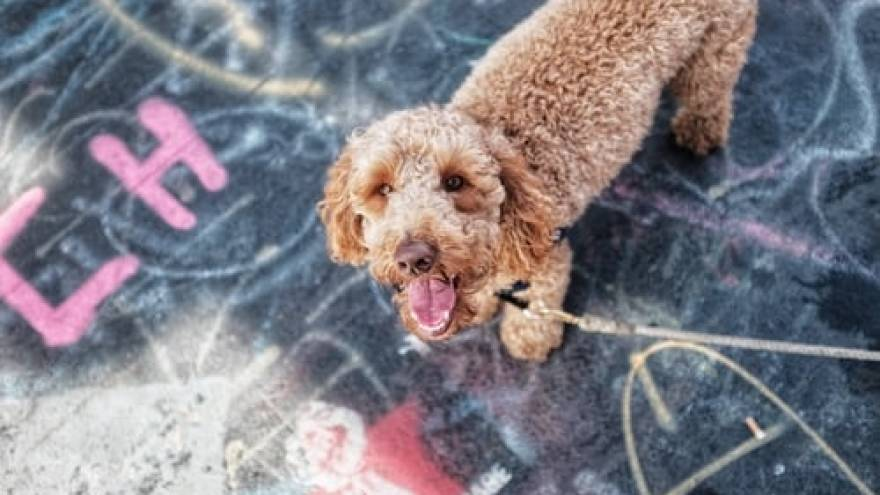 Labradoodle - One of the Most Popular Mixed Dog Breed