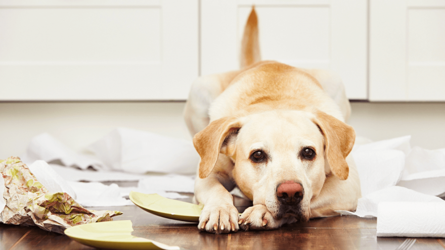 Is Xanax for Dogs Safe - Here is What Vets Might Tell You