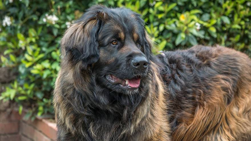 Leonberger - Gentle Lion Dog