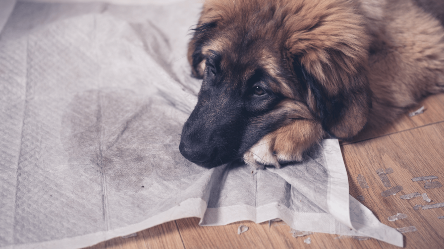 How To Choose the Best Puppy Pad?