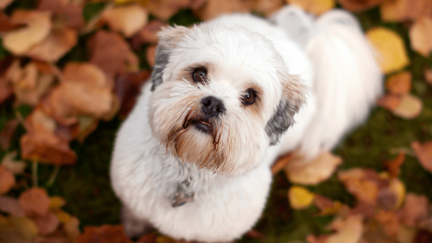 Fun Facts About the Lhasa Apso