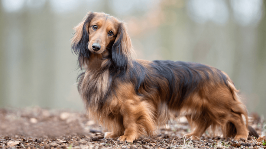 Fun Facts About The Longhaired Dachshund