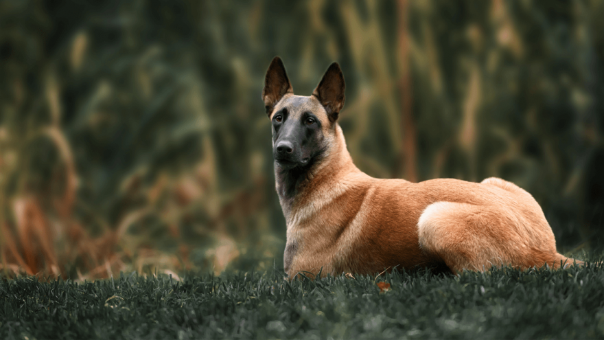 Belgian Malinois: Fun Facts About the Favorite K-9 Dog