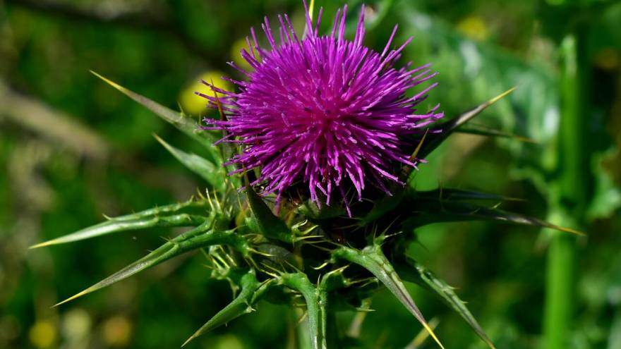 Milk Thistle for Dogs - Does it Help?