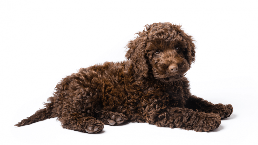 Fun Facts About Mini Labradoodle