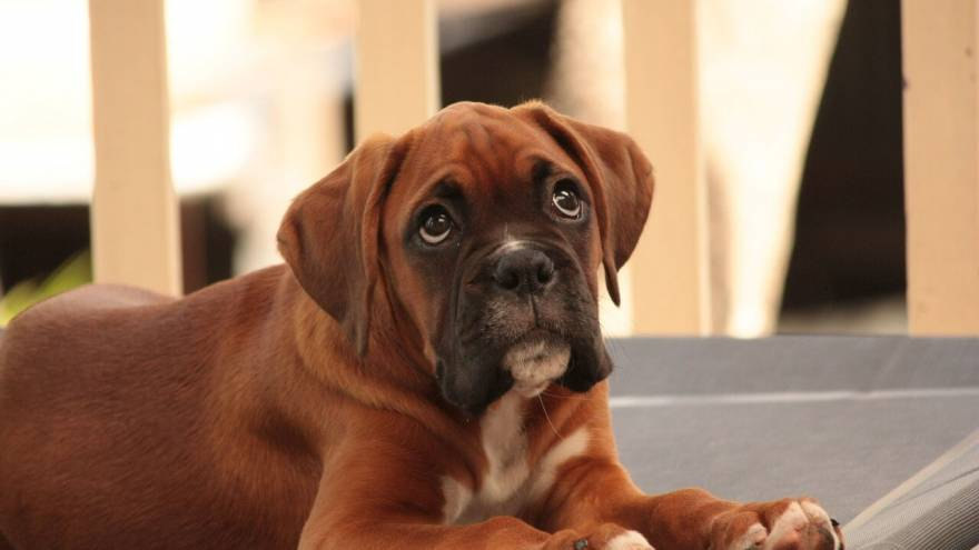 What is a Miniature Boxer?