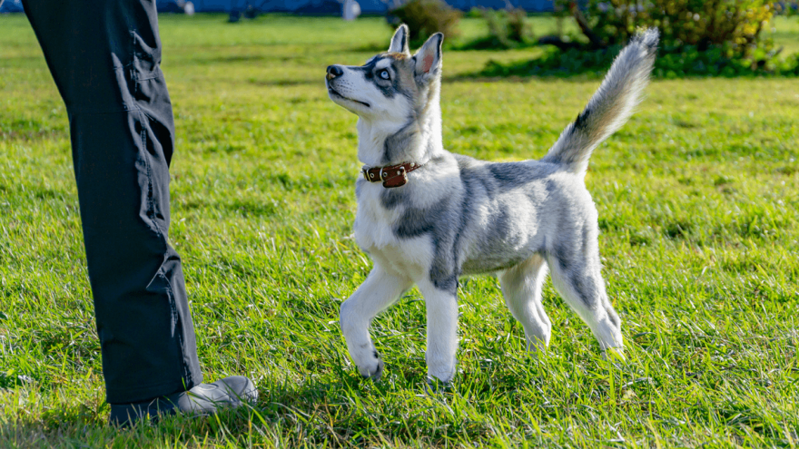Miniature Husky: Loving Family Designer Breed
