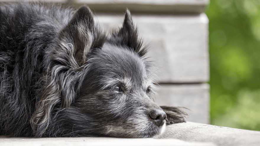 Arthritis in Dogs - How to Handle It?
