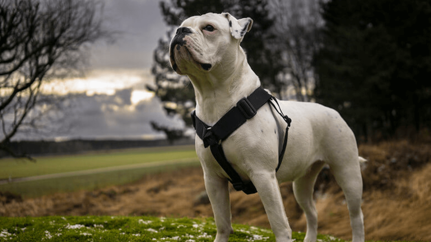 Olde English Bulldogge:  Recreation Of The Extinct Breed