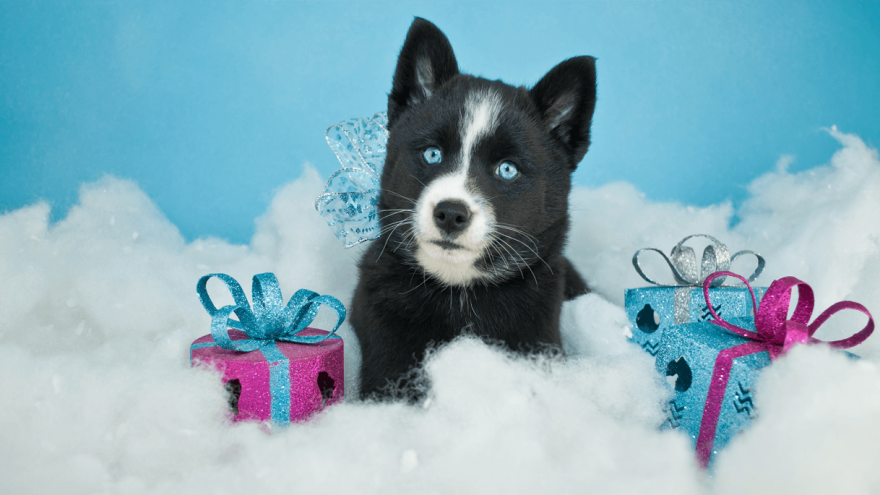 7 Pomsky Fun Facts