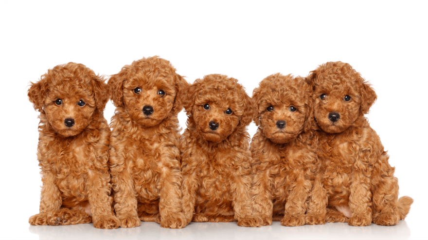 Best Poodle Mixes And Crossbreeds