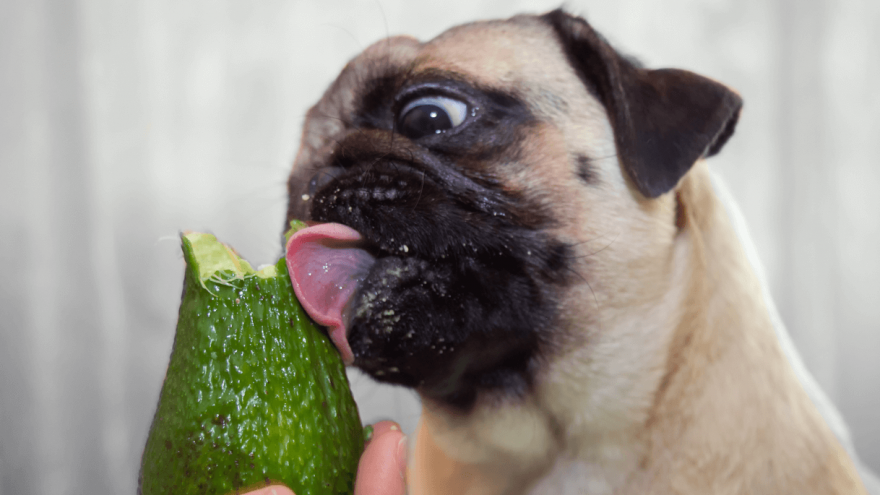 Why You Should Feed Your Dog Avocado?