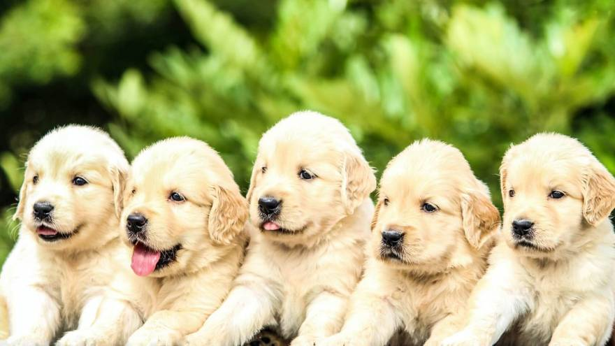 Quiz: Guess Dog Breed - Puppy Edition