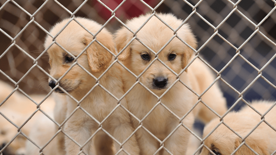 What is a Puppy Mill -  Here's How to Spot it