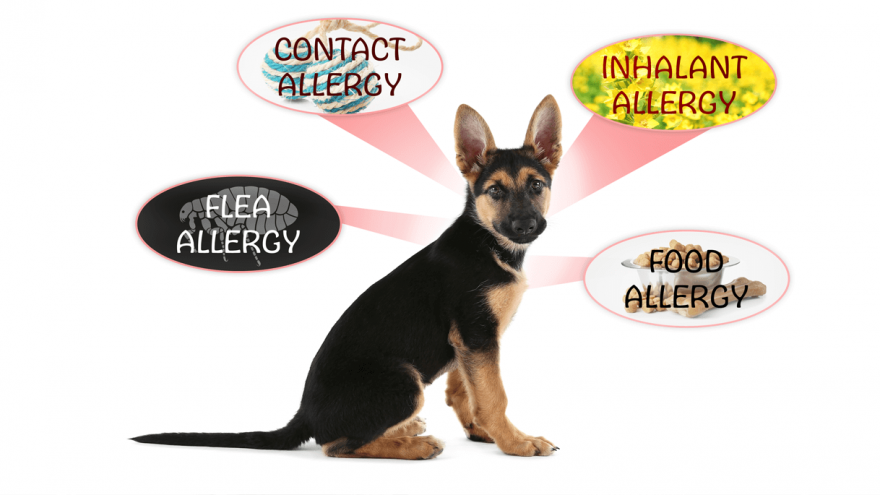 What Allergy Medicine Can I Give to my Dog?