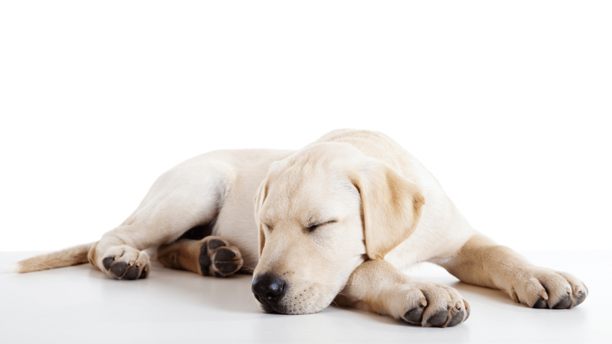 Dog Sleeping Positions and What They Mean