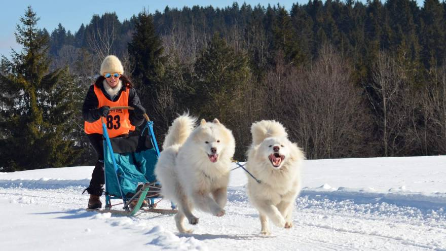 Most Important Characteristics About Samoyed Dogs