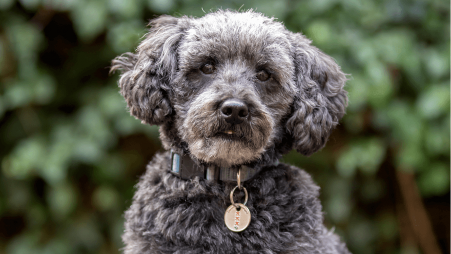 Schnoodle - Popular Hybrid Dog Breed