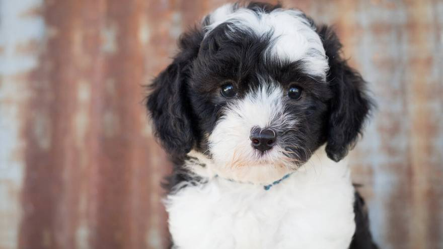 Sheepadoodle - 7 Things You Need To Know
