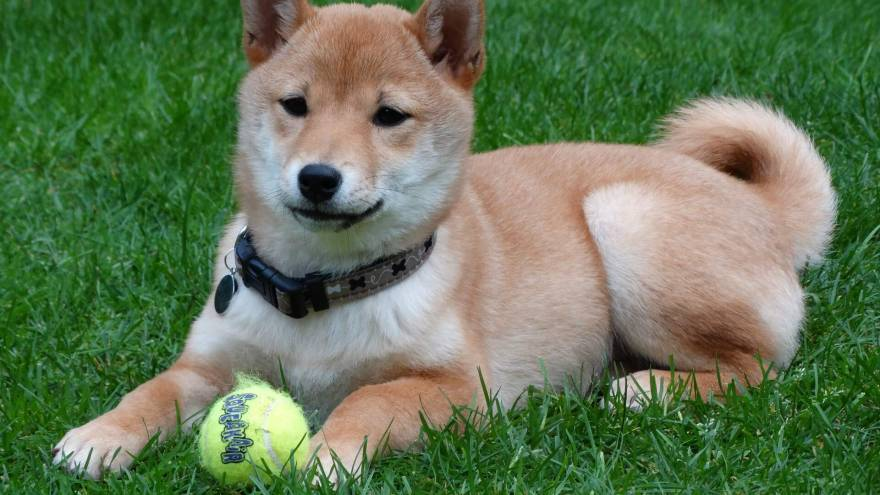 Fun facts about Shiba Inu