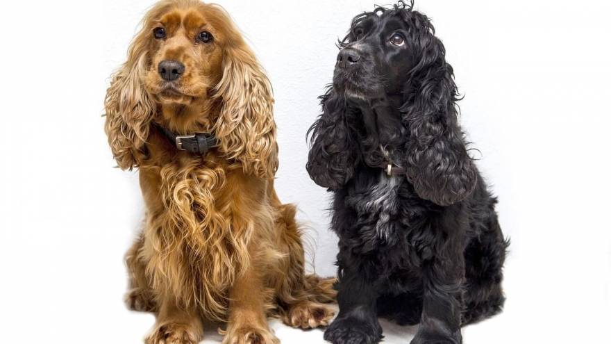 Spaniel Breeds - Top Choice