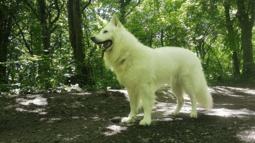 What is like to own White Swiss Shepherd?