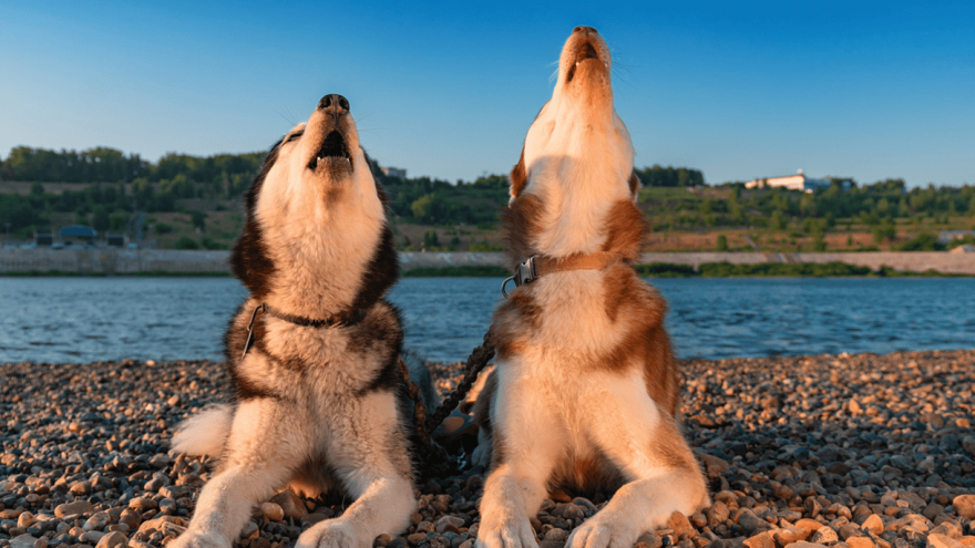 Dog Howling: Why They Do It And How To Stop It?