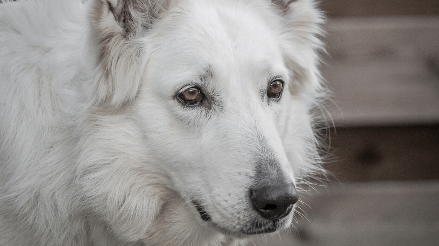 White German Shepherd - Rare Color Or A Fault