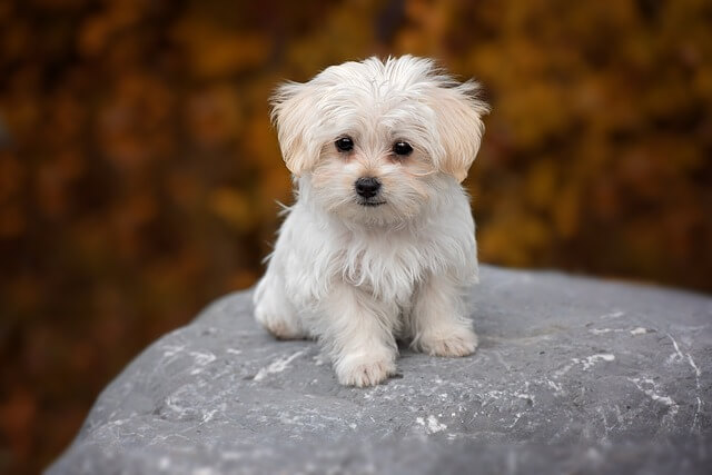 The Maltese Small But Lively Dog Breed
