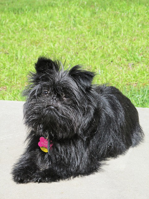 affenpinscher breed dog buy