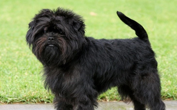 affenpinscher dog breed buy sale