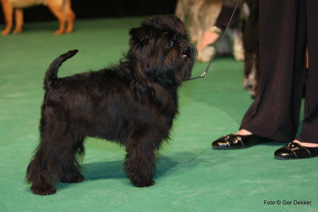 affenpinscher dog breed sale