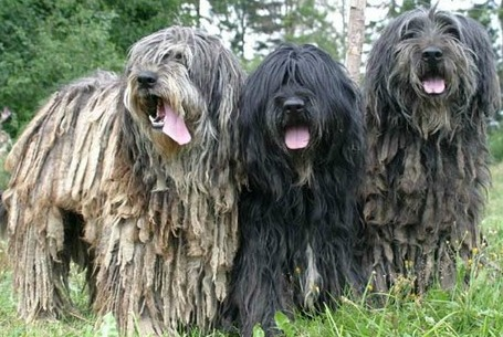 three bergamasco dogs