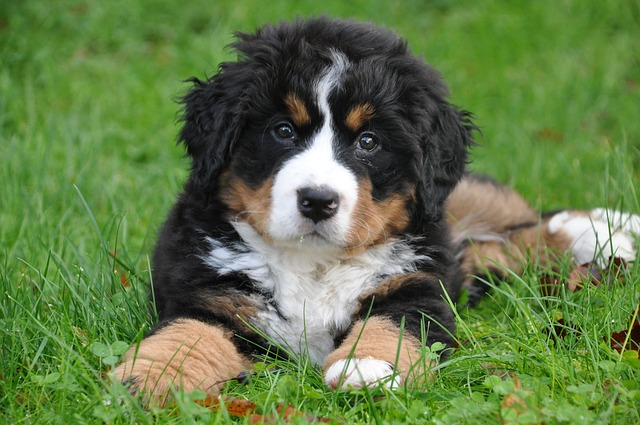 bernese mountain puppy for sale