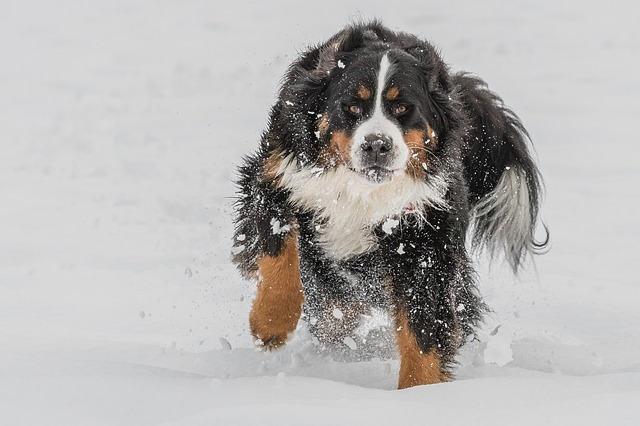 bernese mountain dog on the snow