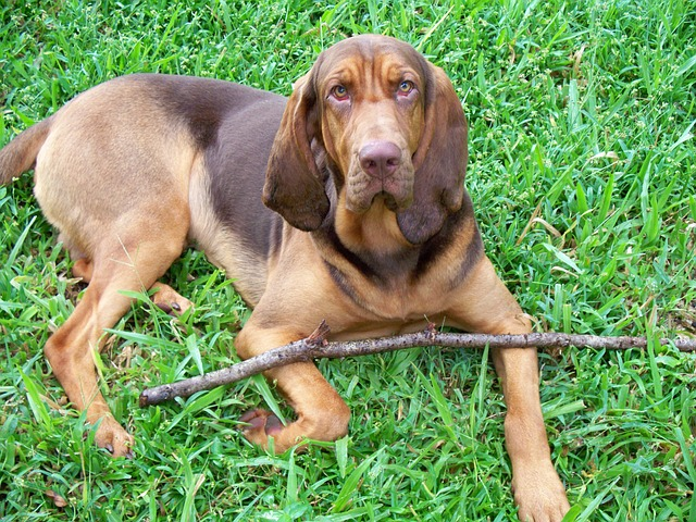 bloodhound_dog_for_sale