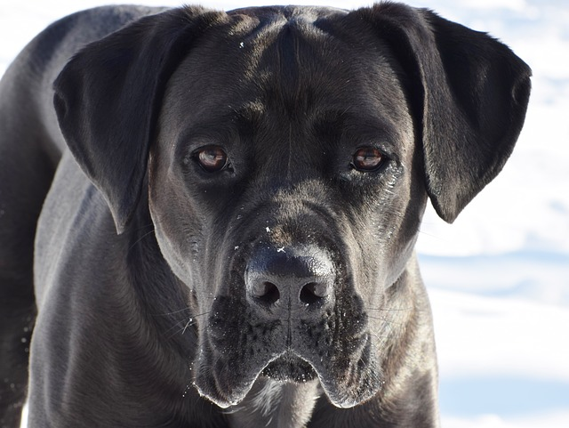 cane corso dog on snow
