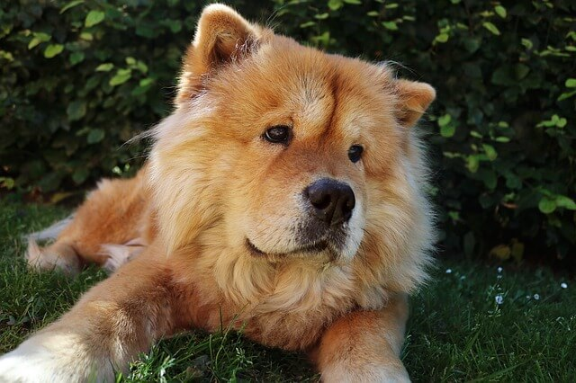 adult Chow Chow dog