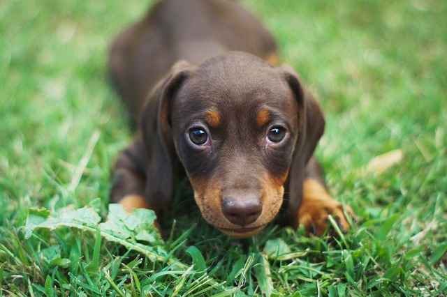 dachshund price sale