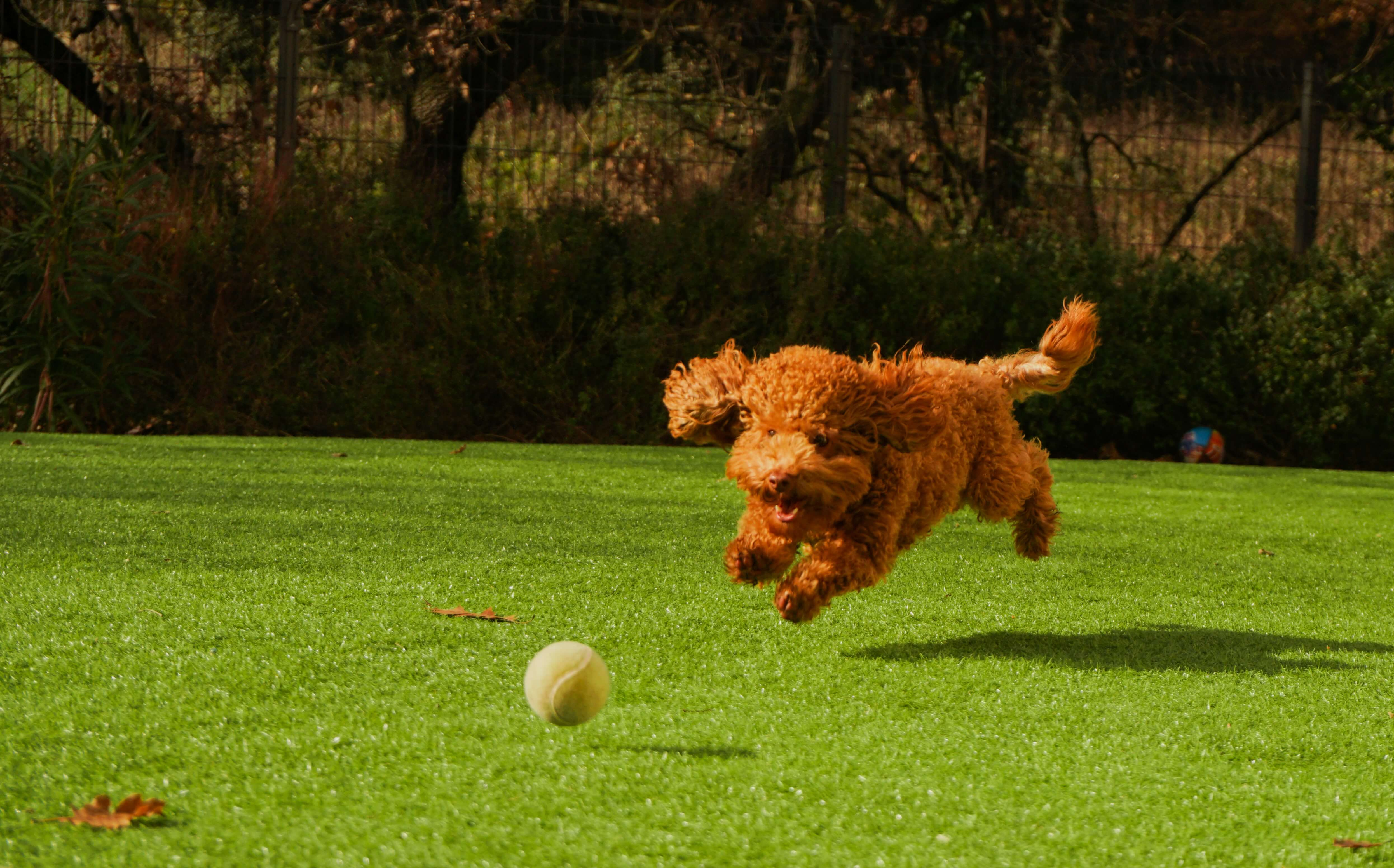 dog playing with the ball